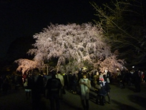 0405しだれ桜は見頃!