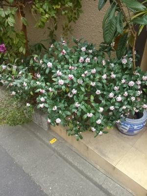 0228沈丁花