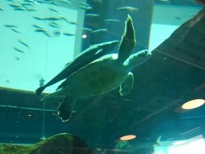 20171101海ガメとコバンザメ