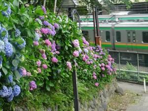 20200611紫陽花
